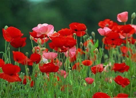 world best flower best flowers in the world red flower wallpaper