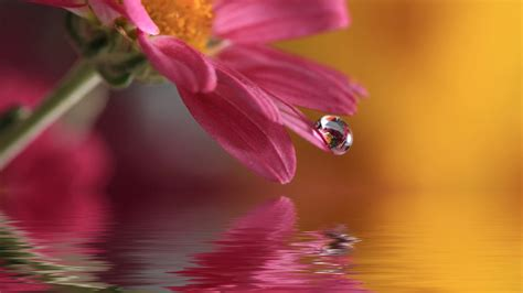 Cincin Water Drop Flower flowers with water drops wallpaper wallpapersafari