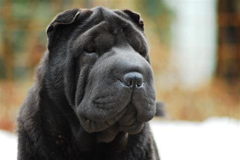 black shar pei puppy black shar pei puppies www imgkid the image kid has it