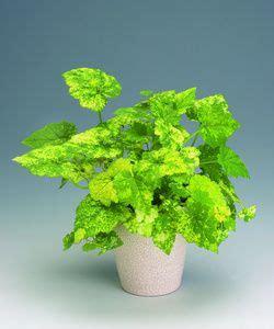 Indoor Plants tolmiea menziesii plantefakta skyggehaven pinterest