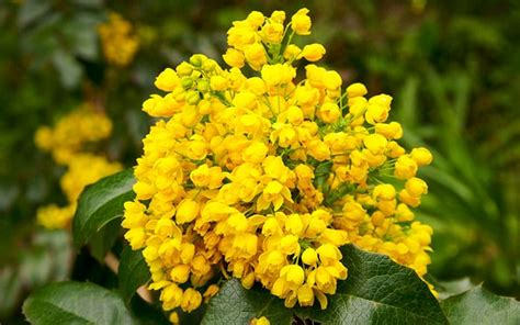 Winter Yellow the 21 best plants and flowers for winter garden colour