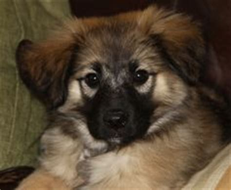 keeshond golden retriever mix ernie border collie keeshond mix adoptable in carlisle pa lilly s friends