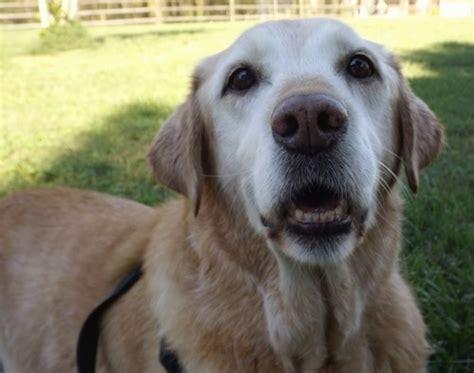 14 year golden retriever golden labrador breed pictures 1