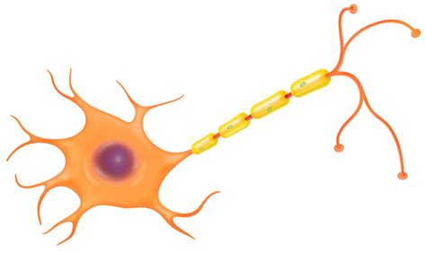 nerve cell diagram image gallery nerve cell diagram