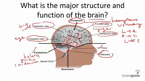 diagram and functions parts of the brain and their functions psychology