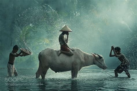 what is pop photography water buffalo cool version by vichaya pop 500px