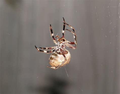 Garden Spider Orb Weaver Australian Garden Orb Weaver Spider Bed Mattress Sale