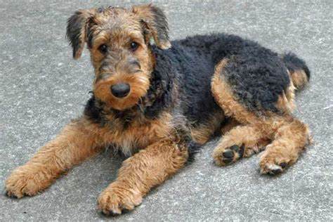 airedale puppies airedale puppies as pet puppy litle pups