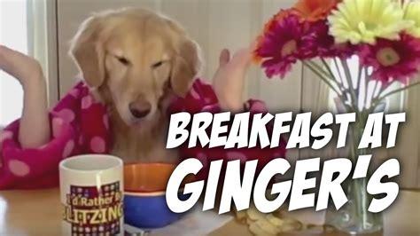 golden retriever breakfast breakfast at s golden retriever eats with pug