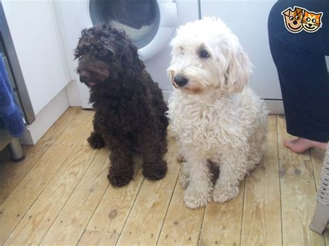 mini goldendoodles essex mini goldendoodles now found homes clacton on sea