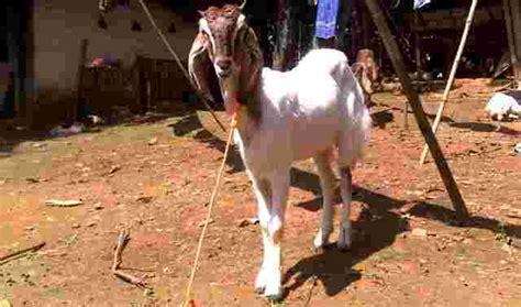 Bibit Kambing Jawa Randu jenis kambing ternak di indonesia teknologi solusi dunia