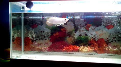 Ikan Arwana 15 Cm arwana golden 15 cm milik dimas