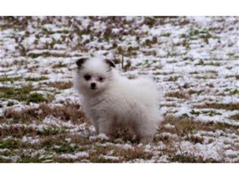 puppies for sale in ruston la miniature pomeranian puppies for sale in louisiana