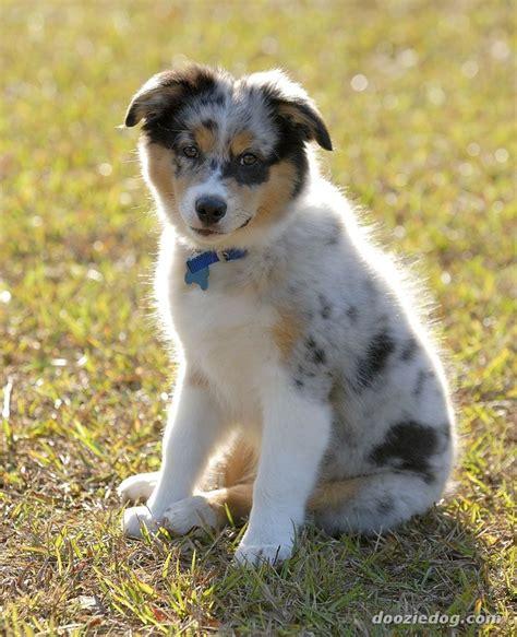 pictures of australian shepherd puppies australian shepherd puppy 5 jpg