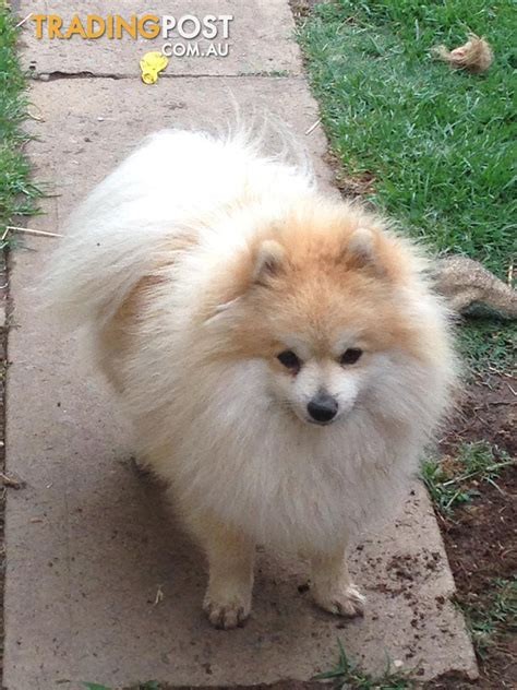 pomeranian breeders nsw links pomeranian puppies for sale here breeds picture