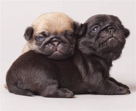 preloved pugs for free the 25 best black pug ideas on black pug puppies pug puppies and pug