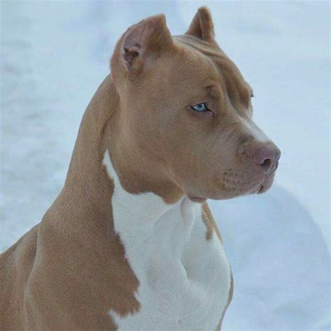 57 best pitbull dogs images on pinterest beautiful babies cats and dogs