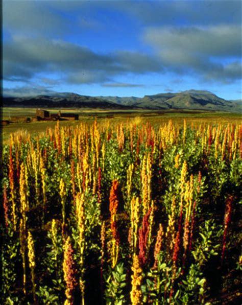 kinoa quinoa yetitiricilii bizimbahce net kinoa quinoa yetiştiriciliği bizimbahce net