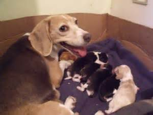 beagle puppies for sale los angeles beagle puppies for sale