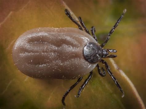 ticks on brown ticks treatment removal facts pestworld