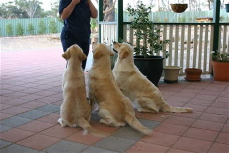 golden retrievers australia baradav golden retrievers south australia