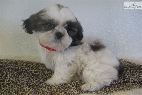 shih tzu traits dogs shih tzu puppies and dogs traits and behaviors breeds picture
