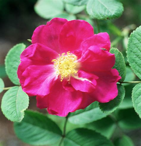 file rosa portland rose jpg wikimedia commons