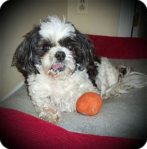shih tzu rescue ohio youngstown oh shih tzu meet finn a for adoption