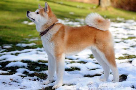 snow breeds akita inu breed in snow lawn adogbreeds