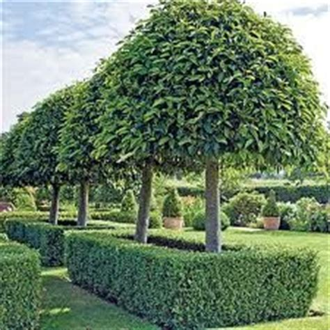 portuguese laurel topiary portuguese laurel search standard trees