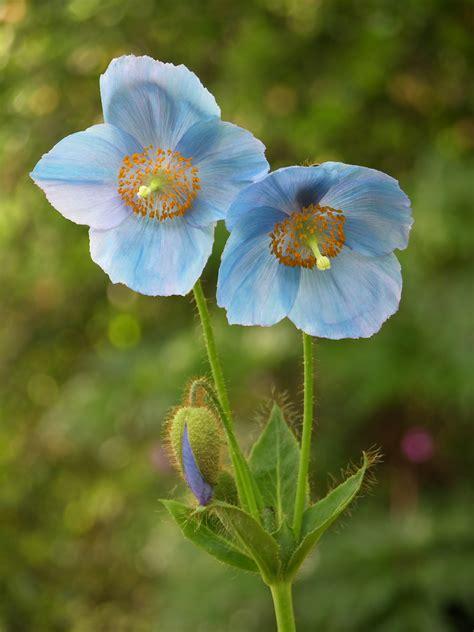 Id 82 Blue Flower ヒマラヤの青いケシ メコノプシス