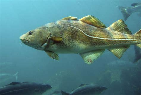 Universal Seafood 1kg atlantic cod mistral seafood
