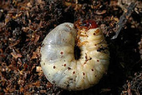 nemasys chafer grub killer natural pest control