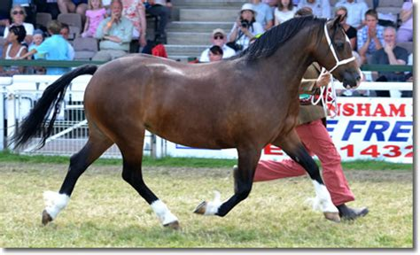 welsh section d society bsps the british show pony society
