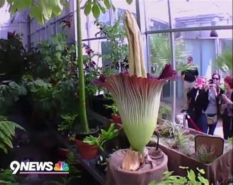 Corpse Flower Botanic Gardens Corpse Flower Blooms In Denver How To Live Yahoo News Canada
