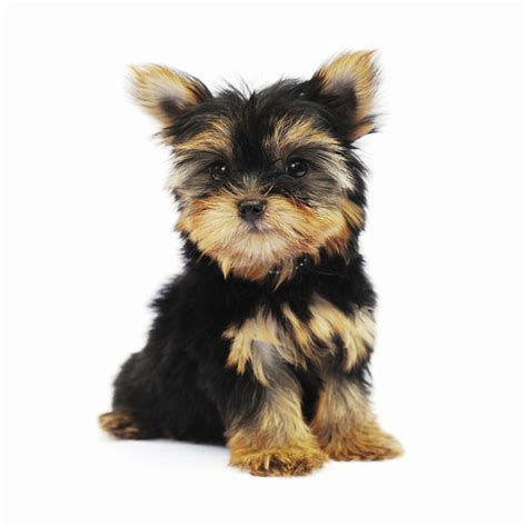 yorkie breeds types breeds types of small breeds terrier dogs breeds breeds breeds picture