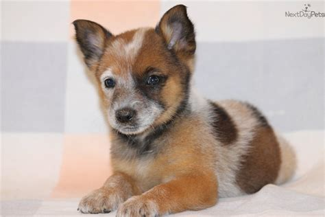 australian heeler puppies australian cattle blue heeler puppy for sale near dallas fort worth