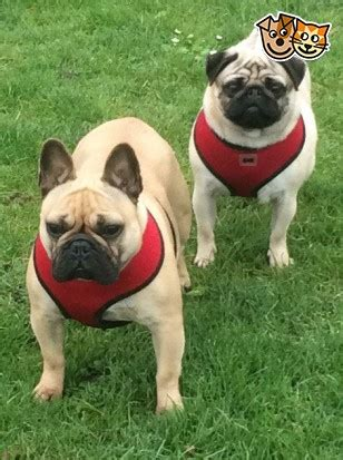 pugs for sale wigan for sale 3 yr pug bulldog bitches wigan greater manchester pets4homes