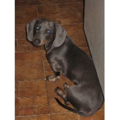 dachshund puppies for sale in wv miniature dachshund puppies for sale in richmond virginia west breeds picture