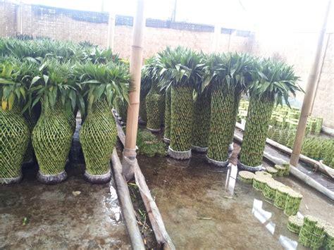 distributor bambu hoki