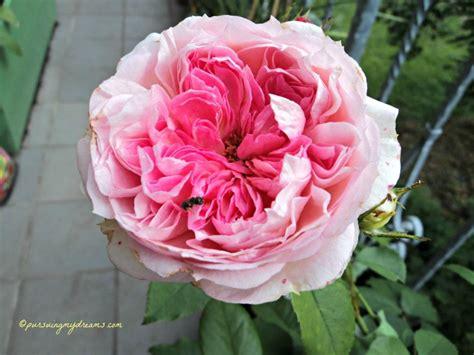 Jual Bibit Bunga Tulip bunga mawar koleksiku pursuing my dreams