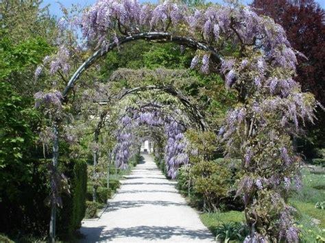 Concime Per Glicine glicine wisteria wisteria ricanti glicine