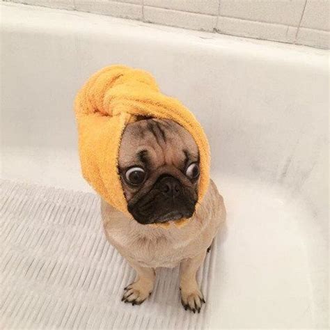 pug of the day 15 pugs of the day