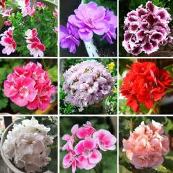 geranium colors beautiful 17 colors available geranium seeds perennial