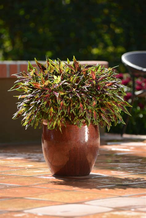 coleus flame thrower chili pepper  plants bargain garden