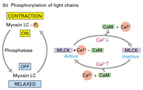 Myosin Light Chain Kinase by Muscles