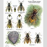 Queen Wasp Compared To Normal Wasp | 600 x 712 jpeg 79kB