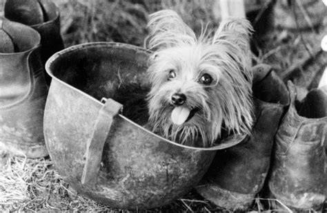 yorkie doodle dandy 1000 images about the u s soldiers best friend on together we