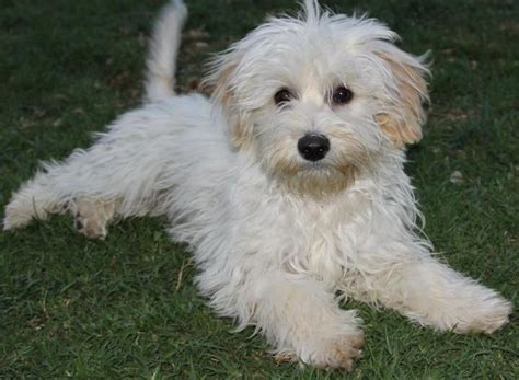 havanese mix omg so duncan havanese terrier mix small smooch pooch