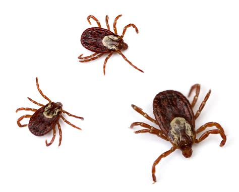 american tick greenville tick mosquito the only mosquito is a dead one
